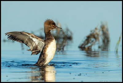 A female Hooded Merganser shakes out her wings after a brief preening session.