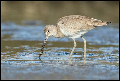 A Willet with a freshly plucked bivalve.