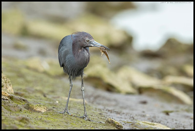 One of the molting Little Blue Heron's with a hard won snack.