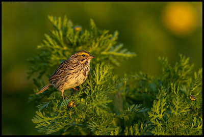 A Savannah's Sparrow atop one of the nearly endless flowers