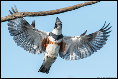 Our local female Belted Kingfisher coming in on her favorite perch.