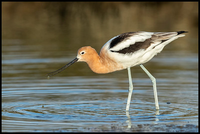 A female American Avocet coming up from their characteristic sweeping motion while feeding.  Almost completely in breeding plumage.
