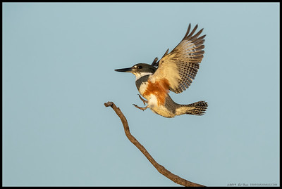 Female Belted Kingfisher do a quick perch shift.