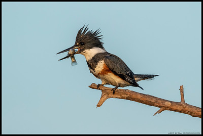 Dinner with a sunset view for the local female Belted Kingfisher.