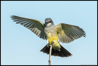 Cassin's Kingbird coming back empty this time.  I watched over twenty moths disappeared into the beak in less than an hour.