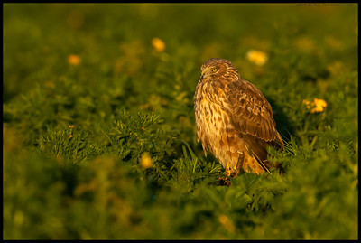 Sitting pretty in a field of flowers, this Northern Harrier seemed to be debating options for dinner.