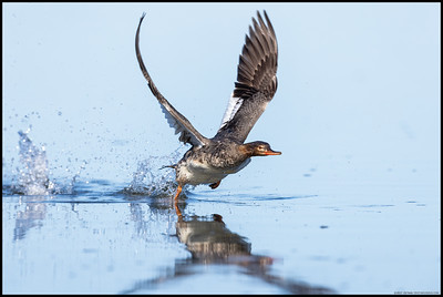 A female Red Breasted Merganser spooling up for takeoff.