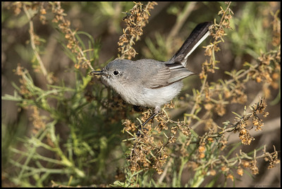 A Blue Gray Gnatcatcher with a small spider.