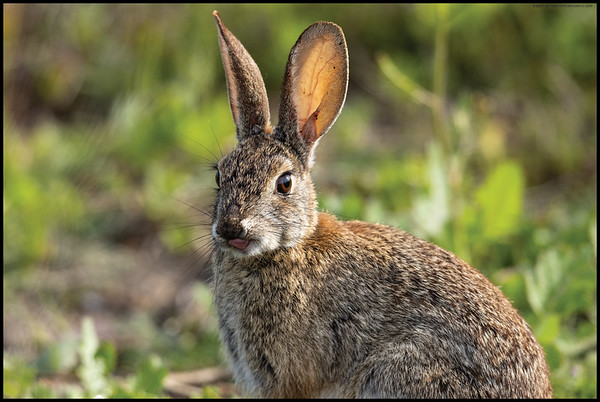 While I was standing still watching bother the Northern Rough Winged and Violet-Green Swallows cavort around, a rabbit hopped out next to me.