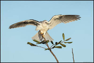 A juvenile White Tailed Kite adjusting its position on the tree top.