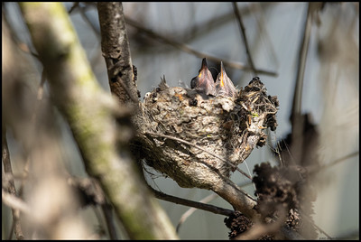Two baby juveniles Anna's Hummingbirds in the nest before their eyes opened.
