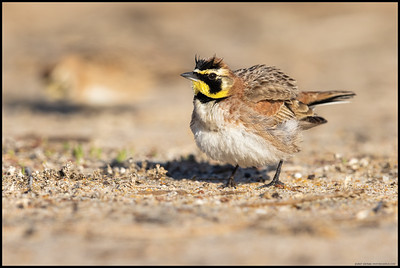 A Horned Lark shaking out the feathers.