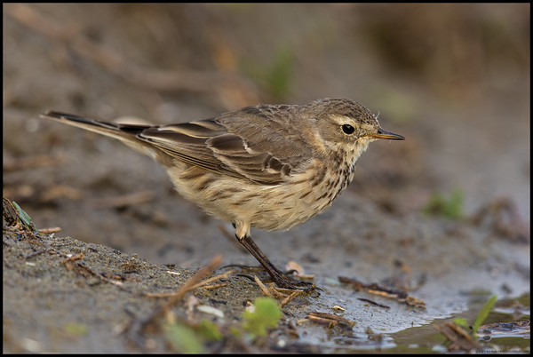 An American Pipit foraging alongside a large puddle after the recent rains.