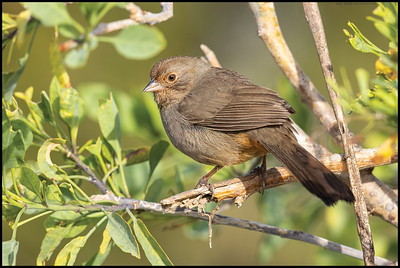 Just a California Towhee basking in the sun.