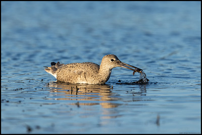 A Willet getting ready to enjoy some fresh crab.