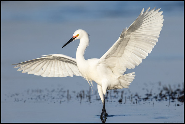 A Snowy Egret in breeding colors on landing to search the grass beds at low tide.