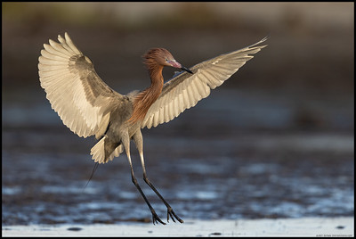 A Reddish Egret landing where the fishes are.  A Snowy Egret was not far behind.