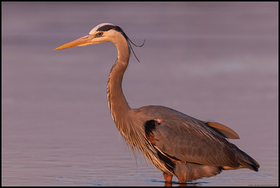 A Great Blue Heron watching for movement beneath the surface as the sun drops for the day.
