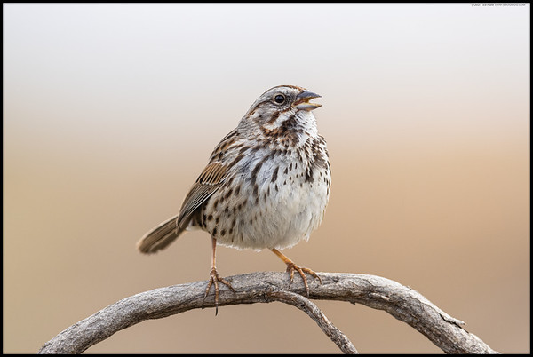 A singing Song Sparrow as the sun started to break through the clouds.