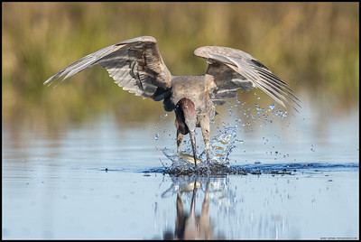 The younger Reddish Egret pulling a freshly caught fish from the water.
