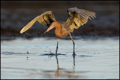 A Reddish Egret frantically trying to catch the one that got away.