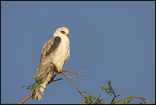 The rising sun was shining out and lighting up the underside of the dark rain clouds while this White Tailed Kite kept watch for breakfast.