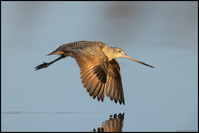 A Marbled Godwit winging across the water as its previous foraging spot went  completely underwater with the rising tide.