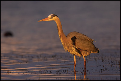 The late evening colors highlighted this Great Blue Heron.