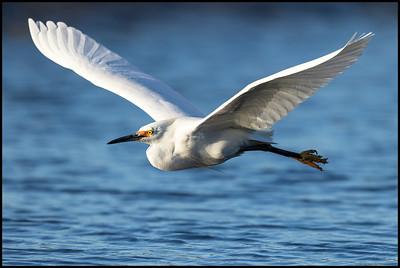 A Snowy Egret in breeding colors flying by to chase the fish churned up by the mergansers.