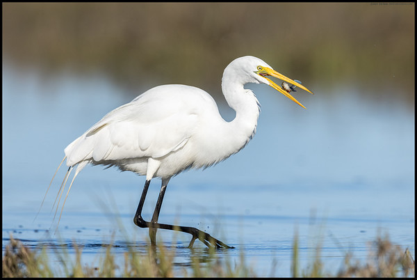 A Great Egret proving it can walk and chew its food at the same time.