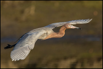 One of the Reddish Egrets in flight to a better fishing spot.