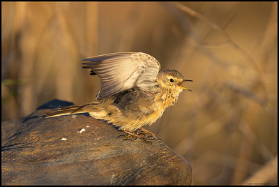 An American Pipit doing the early morning stretches.