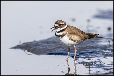 This Killdeer flew in and landed to close for me to even focus on it.  It finally moved far enough away for me to actually get a shot of it calling to another Killdeer across the river.
