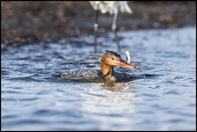 A female Red Breasted Merganser taking its fresh catch away from the watching Snowy Egret.