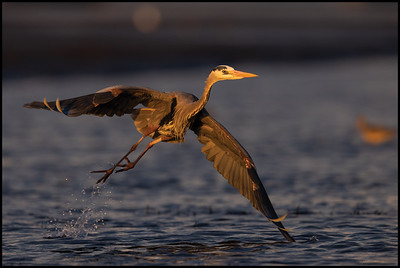A Great Blue Heron launching from the water and heading over to a potentially better fishing spot.