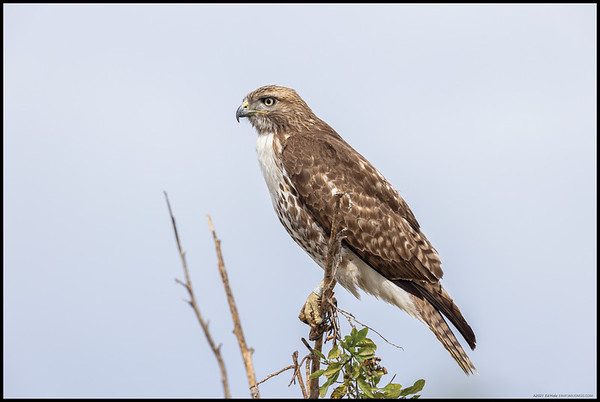 A banded juvenile Red Tailed Hawk keeping an eye out for another unwary rabbit.