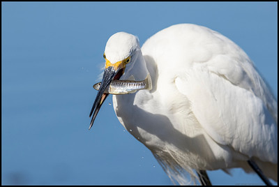 A Snowy Egret incapacitating its prey before swallowing it whole.