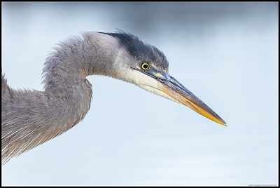 The sun was still working its way free of the low clouds while this younger Great Blue Heron was looking for breakfast.