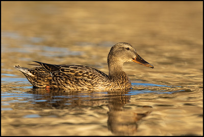 A female Mallard casually making her way across the small lagoon.