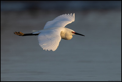 A Snowy Egret in breeding colors makes a quick flight by in the early morning light.