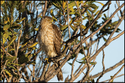 A juvenile Cooper's Hawk basking in the early morning light and occasionally making a call.