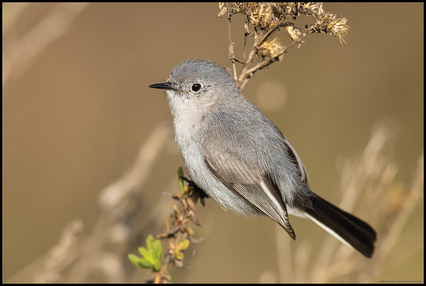 A Blue Gray Gnatcatcher  took a brief break to pose before getting back into chasing breakfast snacks.