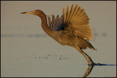 The sunset takeoff of this Little Blue Heron who was in the process of shifting to breeding plumage.