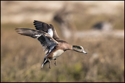 A male American Wigeon letting off enough speed to control its controlled crash landing into the fish bowl.