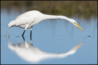 One of the Great Egrets using its long neck to check out a possible snack.