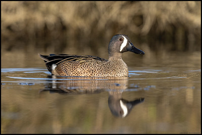 This Blue Winged Teal was pivoting around after some stretches and scratches.