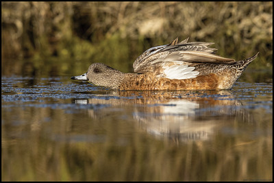 A female American Wigeon stretching before continuing to feed in the shallow water.