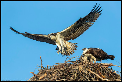 Some late afternoon flight training for one of the young Ospreys.  The other was being feed some Sand Bass by its mother.