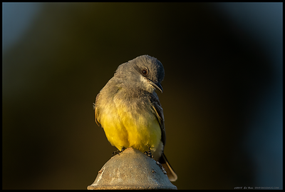 I'm not a big fan of using manmade objects in my images, at least with wildlife but I think I'll make an exception with this Cassin's Kingbird.