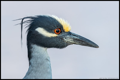 Portrait of a Yellow Crowned Night Heron, with the sun dropping behind the clouds on the horizon and creating a orange/pink glow of the clouds to the east.